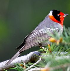 Red-faced Warbler. Summer: N-MX moving up into AZ/ NM - the Madrean sky islands. Winter: S-MX/ CntAm
