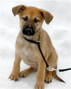 Hurricane Kodiac Bear as a young puppy. His breed - the  Chinook - is one of two new  breeds accepted into the AKC.