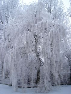 Weeping willow covered in snow.