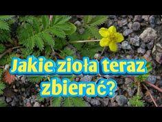 Jakie zioła teraz można zbierać? lato - YouTube Youtube, Plants, Planters, Plant, Planting