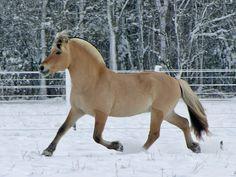 fjord-stallion-trotting