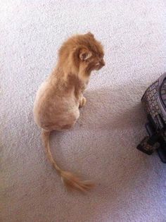 Shaved to look like Simba