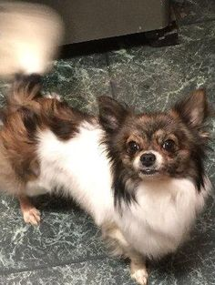 BINGO is an adoptable Chihuahua searching for a forever family near Schenectady, NY. Use Petfinder to find adoptable pets in your area.