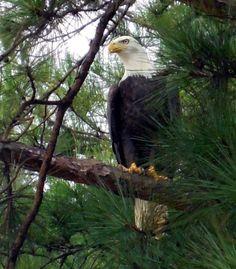 American Bald Eagle in Alabama