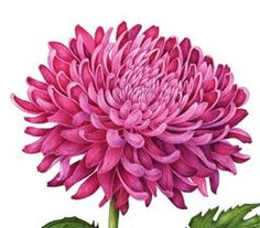 """Chrysanthemum"" Detail - watercolor by Carrie Di Costanzo"