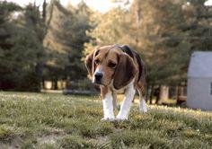 Beagle<3Dotti    Like and repin. :)