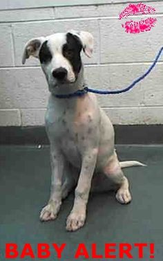 SNOW (A1669288) I am a male white and black Labrador Retriever mix. The shelter staff think I am about 4 months old and I weigh 24 pounds. I was found as a stray and I may be available for adoption on 12/04/2015. — hier: Miami Dade County Animal Services. https://www.facebook.com/urgentdogsofmiami/photos/pb.191859757515102.-2207520000.1419842900./898391913528546/?type=3&theater