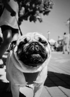 """Whatchu looking at?"" Olympus Visionary Mike Boening captured this mean-muggin pug with his PEN-F. Big Animals, Olympus, Pugs, French Bulldog, Pug, Bulldog Frances, Pug Dogs, Pug Life"