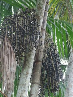 Açai palms (Euterpe Oleracea) with fruits. Other names are Chonta and Manicole. The tree and its fruits have been used for thousands of years by the local Amazon tribes. It was only introduced in America in the 1990s.