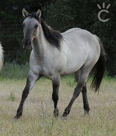 2017 Foals | Shining C Grulla Horses