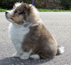 Sheltie puppy! What a little butter ball! ~ MY GOODNESS, THIS IS THE CHUBBIEST SHELTIE PUP I'VE EVER SEEN ~