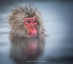 Portrait of a snow monkey by Menno Dekker on 500px