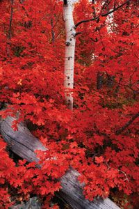 An Autumn Time Rocky Mountain Maple-Gorgeous Foliage Autumn Scenery, Seasons Of The Year, All Nature, Fall Pictures, Funny Pictures, Autumn Leaves, Red Leaves, Autumn Fall, Autumn Trees
