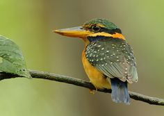 Rufous collared kingfisher (photo by chrisli023)