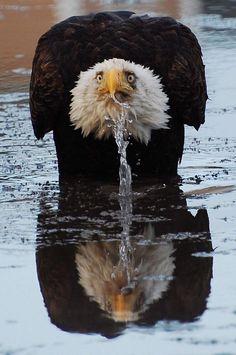 顔の角度って大事。 精悍でキリッとイケメンな鷲が、こんな『変顔』に。 プロフィール写真にしたら『どんだけひょうきんなの!』のイメージにしかならないじゃないの。