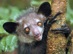 The Aye-Aye, an endangered species of lemur from Madagascar Primates, Mammals, Armadillo, Australia Occidental, Flying Lemur, Madagascar Travel, Rodents, Beautiful Creatures, Magical Creatures