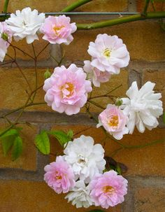 Rambling Rose Flowers