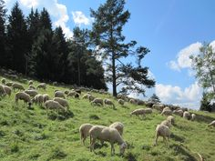 sheeps in peace suthern germany