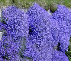 Aubrieta Rock Cress Cascade Blue can be grown from flower seeds. This Rock Cress has very dense evergreen foliage that is completely covered by small dark blue flowers. The blooming Aubrieta looks like a waterfall cascade of blue color. Ground Cover Seeds, Ground Cover Plants, Purple Ground Cover, Dark Blue Flowers, Cascading Flowers, Spring Flowers, Hardy Perennials, Flowers Perennials, Perennials