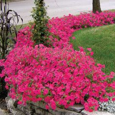 Hot Pink Tidal Wave Hybrid Petunia