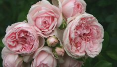 Cinderella Rose | http://www.enchantedgardensdesign.com/blog/2016/2/28/the-quest-for-the-perfect-rose