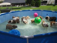 Bully swimming party !  (Don't you wish you had been invited?) What a way have fun and say cool. Posted by Bulldog & Co. love Forever (FB). ♥ ♥ ♥ ♥