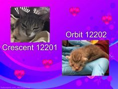 **Must be pulled by a New Hope Rescue**Crescent 12201,7 months old, Female, Domestic Short Hair, Stray&Orbit 12202- 1 week old, Female,_Super Urgent Shelter Cats These animals are either high risk, injured or have previously appeared on the To Be Destroyed list and survived. They are in danger of being on the list again or destroyed without any further notice.