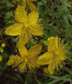 Sarı kantaron yağının faydaları nelerdir? Nasıl kullanılır? Tüm cevaplar için.. http://www.sifalibitkitedavisi.com/sari-kantaron-yagi.html