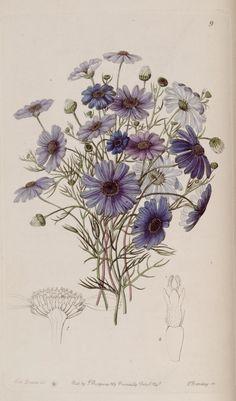 Edwards's botanical register.. London :James Ridgway,1829-1847.. biodiversitylibrary.org/page/241693