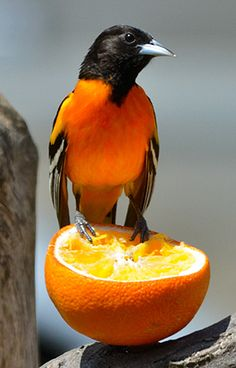 Baltimore Orioles have a sweet tooth for fruit like oranges. - by Dave LaDore