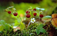 a splash of delicious red. Strawberry Plants, Strawberry Fields, Enchanted Wood, Wild Strawberries, Walk In The Woods, Farm Gardens, Belleza Natural, Organic Gardening, Mother Nature