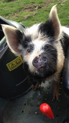 Cartman the pretty Kune Kune pig. Baby Pigs, Pet Pigs, Guinea Pigs, Animals And Pets, Cute Animals, Farm Animals, Kune Kune Pigs, Pot Belly Pigs, Teacup Pigs