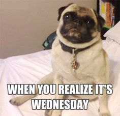 dogs pug wednesday pugs hump day #humor #hilarious #funny #lol #rofl #lmao #memes #cute