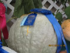 Here is another award winning Blue Hubbard Squash at the Benton Franklin County Fair 2013.