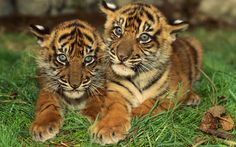 animals in mexico | Encyclopaedia of Babies of Beautiful Wild Animals: Tiger Cubs