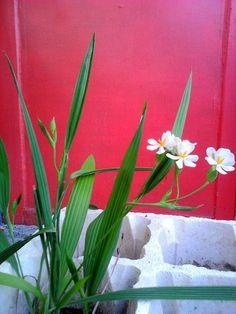 Eleutherine bulbosa, finally give its cute flower