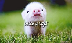 Teacup pigs, the itty bitty ones, are SO CUTE! I just want to hold one =(