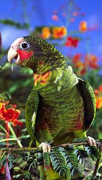 Its my dream to see one of these in the wild some day.   It's the beautiful Cayman Parrot!