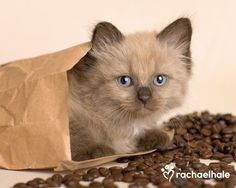 Such a cute kittie....Morocco (Ragdoll x Tiffany) - It's time to wake up and smell the coffee