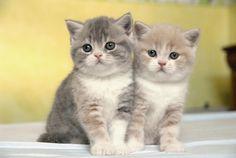 Chatons british shorthair - scottish fold à la Chatterie des doux coeurs