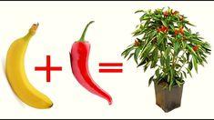 TERRA + BANANA + PEPERONCINO uniscili ed il risultato ti sorprenderà Growing Fruit Trees, Growing Plants, Growing Vegetables, Regrow Vegetables, Small Vegetable Gardens, Vegetable Garden Design, House Plants Decor, Plant Decor, Inside Plants