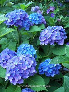 Hydrangea macrophylla 'Blauer Zwerg'