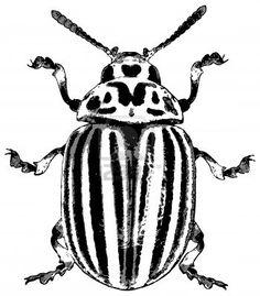 Escarabajo de la patata - ilustración vectorial en bruto Foto de archivo - 14406094