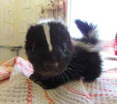 Babeh skunk!