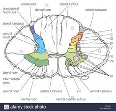 Thoracic Spinal Cord Cross Section Diagram - Wiring Circuit •