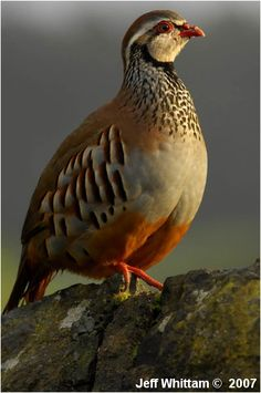 Red-legged Partridge (Alectoris rufa) Photo by Jeff Whittam