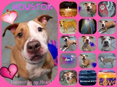 NYCACC MURDERED HER 4/1/17 THIS IS TOTAL MADNESS AND DEVILISH I'M TOTALLY IN TEARS! HOW COULD THEY? WHY? /ij4/1/17 HOUSTON IS LISTED TO DIE TODAY DUE BEHAVIOUR! CAME IN WITH MADISON, MURDERED 3/29/17!! PLEASE SAVE HER OUT OF HELL AND INTO LOVING CARE! /IJ Brooklyn Center My name is HOUSTON. My Animal ID # is A1106968. I am a spayed female tan and white am pit bull ter mix. The shelter thinks I am about 4 YEARS old. I came in the shelter as a STRAY on 03/24/2017 from NY 10457, owner surrender…