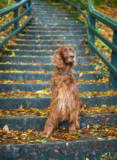 Irish Setter in Autumn