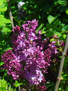 Lilac Shrub. Colorado does very well with these at almost any altitude and zone. Beautiful fragrant blooms early spring through early summer.