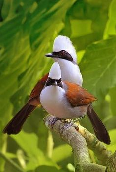 A pair of beautiful White-crested Laughing Thrushes, are very active birds, spending a lot of time communicating with each other & foraging in the forest. Kinds Of Birds, All Birds, Little Birds, Love Birds, Exotic Birds, Colorful Birds, Beautiful Creatures, Animals Beautiful, Most Beautiful Birds